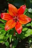 Rote Lilienblume im Garten Stockbild