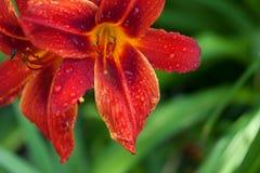 Rote Lilienblume mit Wassertropfen Lizenzfreie Stockbilder
