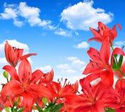 Rote Lilienblumen Lizenzfreies Stockbild