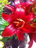 Rote Lilly After Spring Shower Lizenzfreies Stockfoto