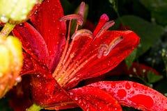Rote Lily After der Regen Lizenzfreies Stockfoto