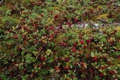 Rote Lingonberries Lizenzfreies Stockbild