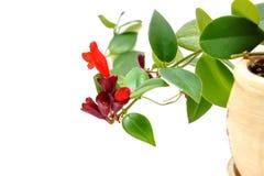 Rote Lippenstift-Blume Aeschynanthus-radicans Lizenzfreie Stockfotos