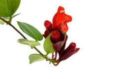 Rote Lippenstift-Blume Aeschynanthus-radicans Lizenzfreies Stockbild