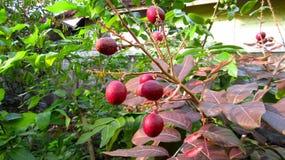 Rote Longan-Frucht Ruby Longan Variety Lizenzfreie Stockfotografie