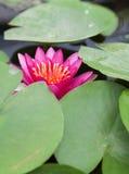 Rote lotos Stockfotos