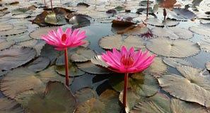 Rote Lotus Sea Stockbilder