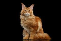 Rote Maine Coon Cat Sitting mit den großen Ohren lokalisierte Schwarzes Lizenzfreie Stockfotos