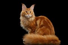 Rote Maine Coon Cat Sitting mit Pelzendstück lokalisiertem Schwarzem Lizenzfreie Stockfotos
