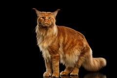 Rote Maine Coon Cat Standing, lokalisiertes Schwarzes in camera schauend Lizenzfreies Stockbild