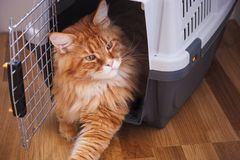 Rote Maine Coon Sitting in Cat Carrier stockbild