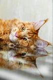 Rote Maine-Waschbärkatze, die auf Spiegelreflexionsfuchs aufwirft Stockfoto