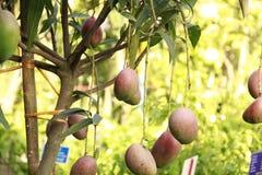 Rote Mangos, die in einem Garten hängen Lizenzfreie Stockfotografie