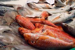 Rote Meeräsche Lizenzfreies Stockbild