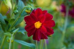 Rote Mignondahlienblume Stockbilder