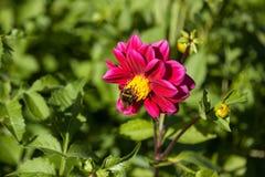 Rote Mignondahlienblume mit Hummel Stockfoto
