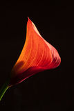 Rote Minicalla-Lilie Stockbild