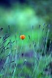 Rote Mohnblume Stockfotos