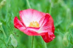Rote Mohnblume Stockbild