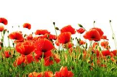 Rote Mohnblume lizenzfreie stockfotos