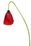 Rote Mohnblume Lizenzfreies Stockbild