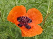 Rote Mohnblume. lizenzfreies stockbild