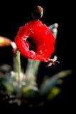 Rote Mohnblume Stockbilder