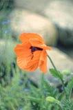 Rote Mohnblume auf bokeh Hintergrund Stockfoto