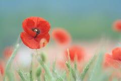 Rote Mohnblume auf dem Feld Stockbild