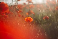 Rote Mohnblume auf dem Gebiet stockbild