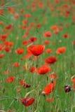 Rote Mohnblume auf dem Gebiet lizenzfreie stockfotos