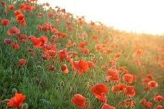 Rote Mohnblume auf dem Sonnenuntergang Stockbilder