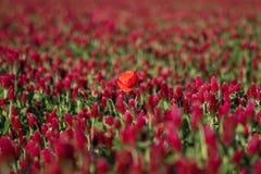Rote Mohnblume auf einem Gebiet des Klees lizenzfreie stockfotografie