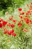 Rote Mohnblume auf einem grünen Gebiet Stockbilder