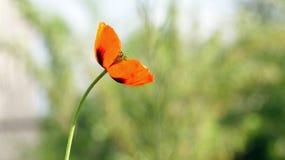Rote Mohnblume auf einem grünen Hintergrund Rot, zart, Luft, belebende Mohnblume Lizenzfreie Stockfotos