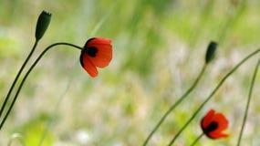 Rote Mohnblume auf einem grünen Hintergrund Rot, zart, Luft, belebende Mohnblume Stockfotos