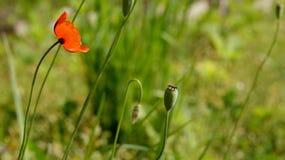 Rote Mohnblume auf einem grünen Hintergrund Rot, zart, Luft, belebende Mohnblume Lizenzfreies Stockbild