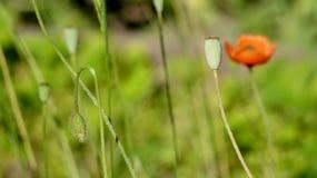 Rote Mohnblume auf einem grünen Hintergrund Rot, zart, Luft, belebende Mohnblume Lizenzfreie Stockbilder