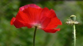 Rote Mohnblume auf einem grünen Hintergrund Schöne Mohnblumenfrische stock footage