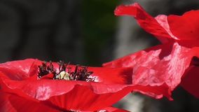 Rote Mohnblume auf einem grünen Hintergrund Schöne Mohnblumenfrische stock video