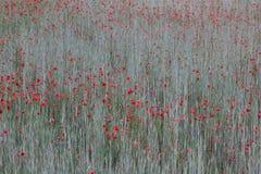 Rote Mohnblume auf einem grauen Hintergrund Stockbilder