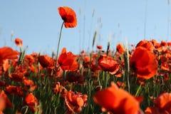 Rote Mohnblume auf einem grauen Hintergrund Stockfotografie
