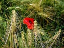 Rote Mohnblume auf Gerstenfeld Lizenzfreies Stockbild