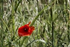 Rote Mohnblume auf grünem Feld Stockfotos