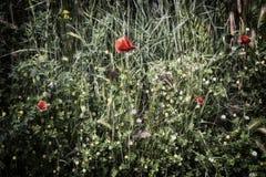 Rote Mohnblume auf grünem Feld mit gelben Blumen Lizenzfreies Stockfoto