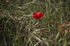 Rote Mohnblume auf grünem Feld mit orange Blumen Lizenzfreie Stockbilder