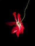 Rote Mohnblume auf Schwarzem Lizenzfreies Stockfoto