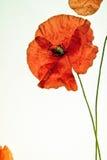 Rote Mohnblume auf weißem Hintergrund Lizenzfreie Stockfotografie