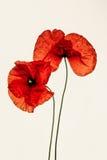 Rote Mohnblume auf weißem Hintergrund Stockfotografie