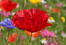 Rote Mohnblume auf Wiese Lizenzfreie Stockfotografie